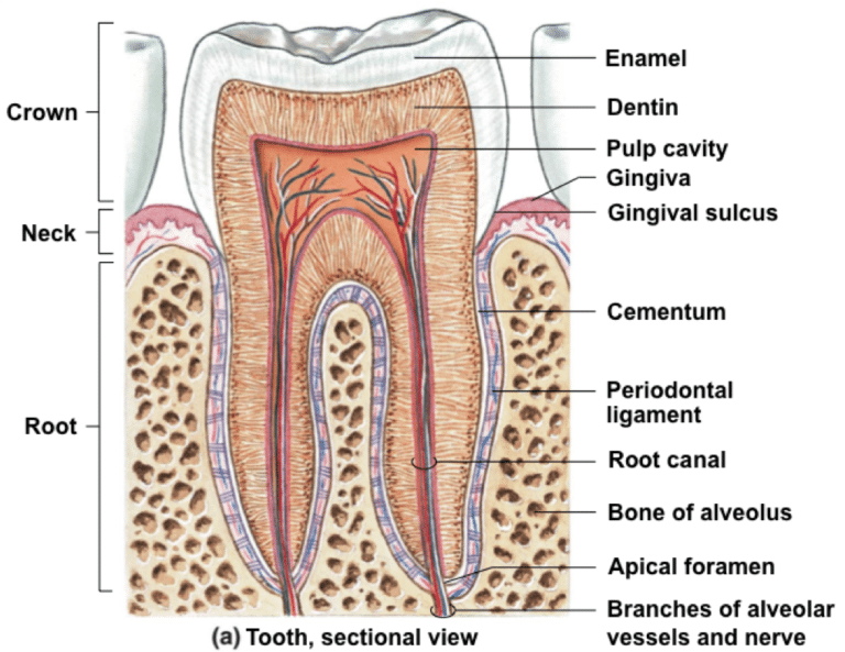 Root Canal Alternative , Root Canal Toxicity, Tooth Anatomy, Holistic Dentist USA